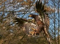 bald-eagle-juvenile-586-bedford-copyright-photographers-on-safari-com