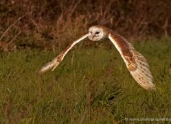 barn-owl-575-bedford-copyright-photographers-on-safari-com
