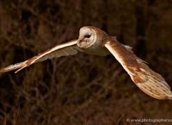 barn-owl-577-bedford-copyright-photographers-on-safari-com