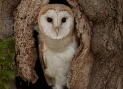 barn-owl-copyright-photographers-on-safari-com-8250