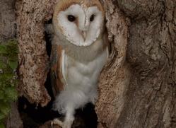 barn-owl-copyright-photographers-on-safari-com-8251