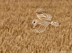 barn-owl-copyright-photographers-on-safari-com-8252