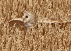 barn-owl-copyright-photographers-on-safari-com-8254