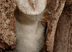 barn-owl-copyright-photographers-on-safari-com-8255