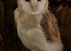 barn-owl-copyright-photographers-on-safari-com-8258