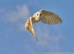 barn-owl-copyright-photographers-on-safari-com-8263