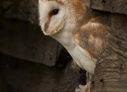 barn-owl-copyright-photographers-on-safari-com-8271