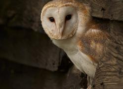 barn-owl-copyright-photographers-on-safari-com-8272