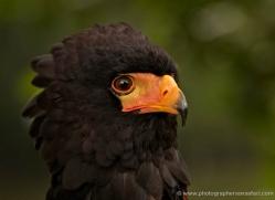 bateleur-eagle-563-bedford-copyright-photographers-on-safari-com