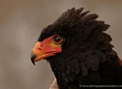 bateleur-eagle-566-bedford-copyright-photographers-on-safari-com