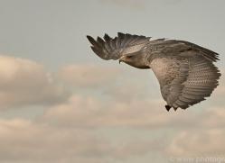 chilean-blue-eagle-copyright-photographers-on-safari-com-8274