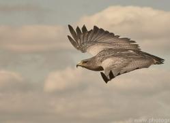 chilean-blue-eagle-copyright-photographers-on-safari-com-8275