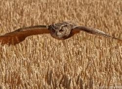 eagle-owl-copyright-photographers-on-safari-com-8276