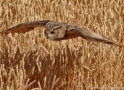 eagle-owl-copyright-photographers-on-safari-com-8277