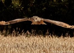 eagle-owl-copyright-photographers-on-safari-com-8278