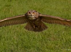 european-eagle-owl-572-bedford-copyright-photographers-on-safari-com