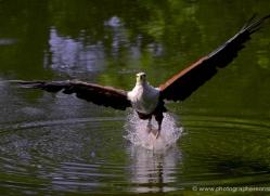 fish-eagle-539-bedford-copyright-photographers-on-safari-com