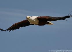 fish-eagle-copyright-photographers-on-safari-com-8283
