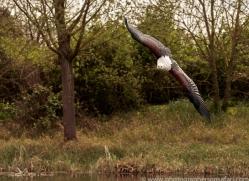 fish-eagle-copyright-photographers-on-safari-com-8284