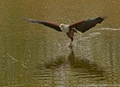 fish-eagle-copyright-photographers-on-safari-com-8287