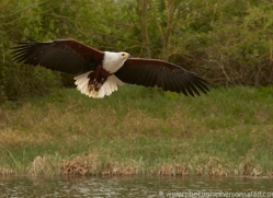 fish-eagle-copyright-photographers-on-safari-com-8289