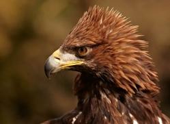 golden-eagle-554-bedford-copyright-photographers-on-safari-com