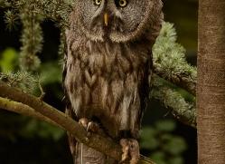 great-grey-owl-copyright-photographers-on-safari-com-8291