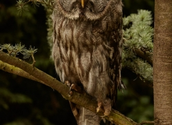 great-grey-owl-copyright-photographers-on-safari-com-8292