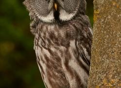 great-grey-owl-copyright-photographers-on-safari-com-8293