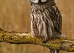 great-grey-owl-copyright-photographers-on-safari-com-8294