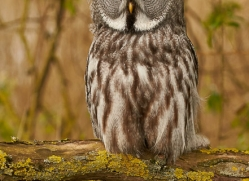 great-grey-owl-copyright-photographers-on-safari-com-8295