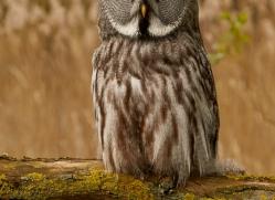 great-grey-owl-copyright-photographers-on-safari-com-8296