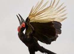 ground-hornbill-copyright-photographers-on-safari-com-8300