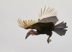 ground-hornbill-copyright-photographers-on-safari-com-8301