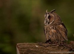 long-eared-owl-546-bedford-copyright-photographers-on-safari-com