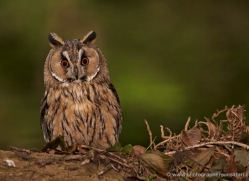 long-eared-owl-547-bedford-copyright-photographers-on-safari-com