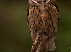 long-eared-owl-548-bedford-copyright-photographers-on-safari-com
