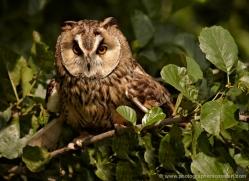 long-eared-owl-550-bedford-copyright-photographers-on-safari-com