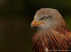 red-kite-558-bedford-copyright-photographers-on-safari-com