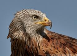 red-kite-copyright-photographers-on-safari-com-8309
