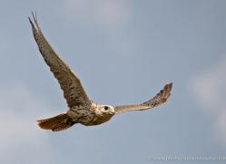saker-falcon-579-bedford-copyright-photographers-on-safari-com