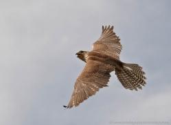 saker-falcon-581-bedford-copyright-photographers-on-safari-com