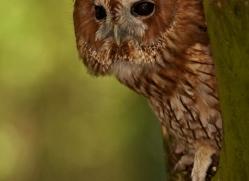 tawny-owl-543-bedford-copyright-photographers-on-safari-com