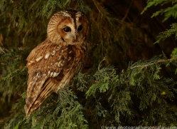 tawny-owl-copyright-photographers-on-safari-com-8314