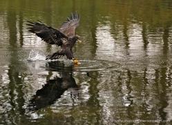 bald-eagle-juvenile-582-bedford-copyright-photographers-on-safari-com