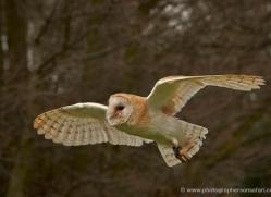 barn-owl-574-bedford-copyright-photographers-on-safari-com