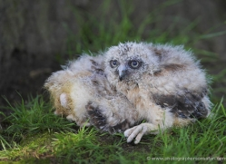 eagle-owl-chick-545-bedford-copyright-photographers-on-safari-com