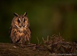 long-eared-owl-549-bedford-copyright-photographers-on-safari-com