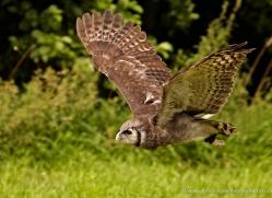 turkmenian-eagle-owl-561-bedford-copyright-photographers-on-safari-com