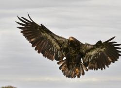 Bald Eagle 2014-2copyright-photographers-on-safari-com